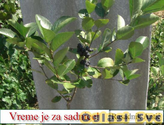 Sadnice voća za jesen 2019 - PROVERENO KVALITETNO