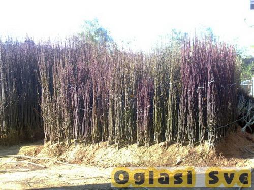 Voćne sadnice za jesenju sadnju sa garancijom prijema