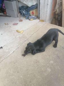 Prodajem musko stene Labradora crne boje
