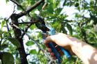 Profesionalno orezivanje i zaštita vinove loze, voća i ruža, obaranje debelih stabala i šišanje