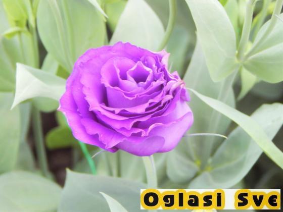 Rezani cvet lizijantus