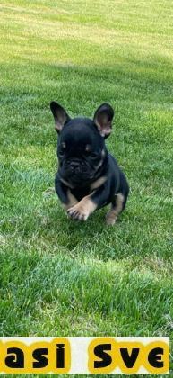 Francuski buldog, muško štene